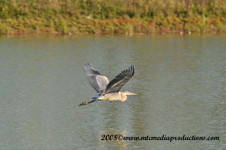 Blue Heron Picture-168
