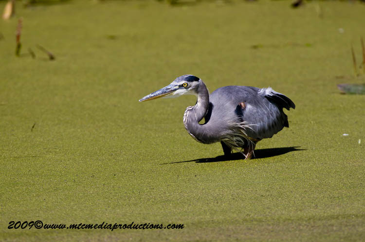 Blue Heron Picture-366