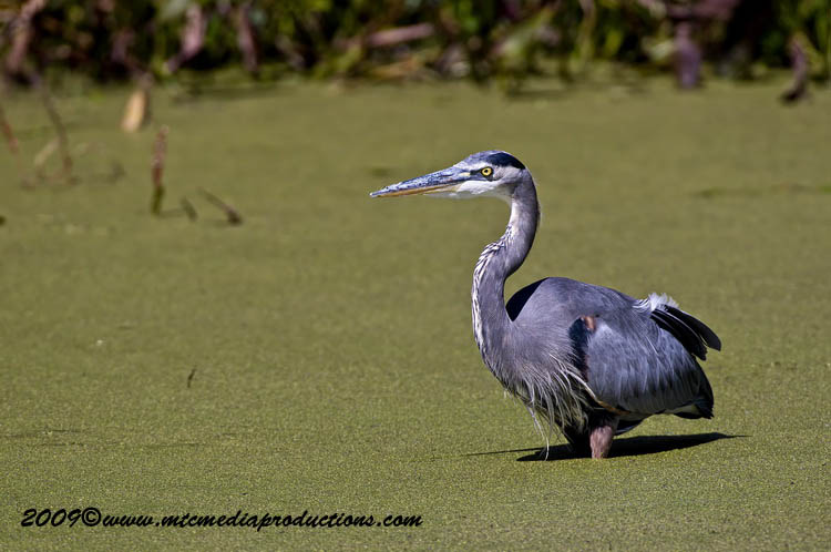 Blue Heron Picture-367