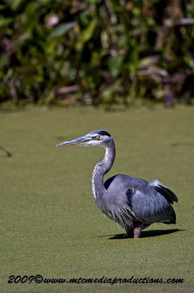Blue Heron Picture-368