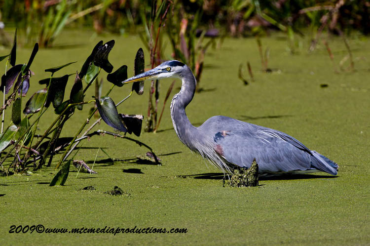 Blue Heron Picture-369
