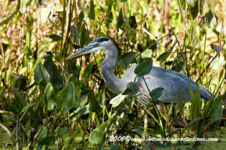Blue Heron Picture-371
