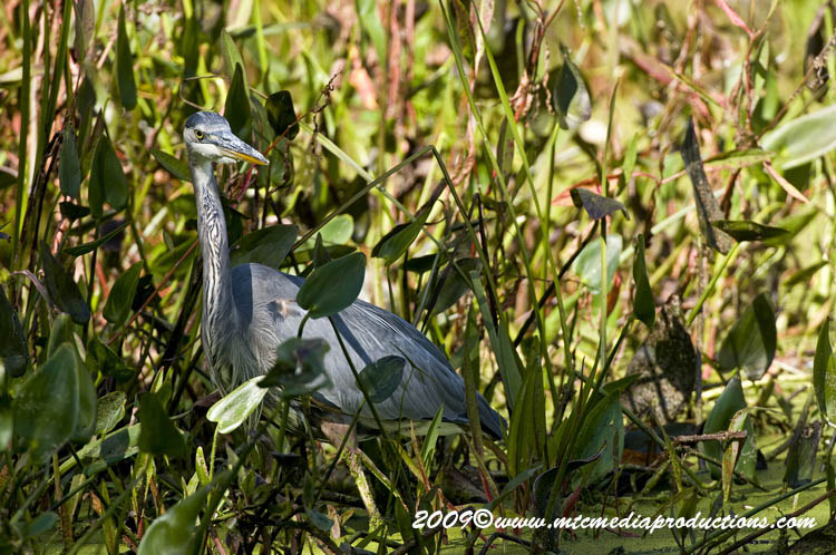 Blue Heron Picture-372