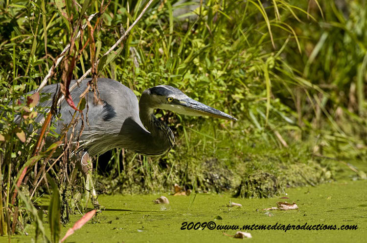 Blue Heron Picture-374