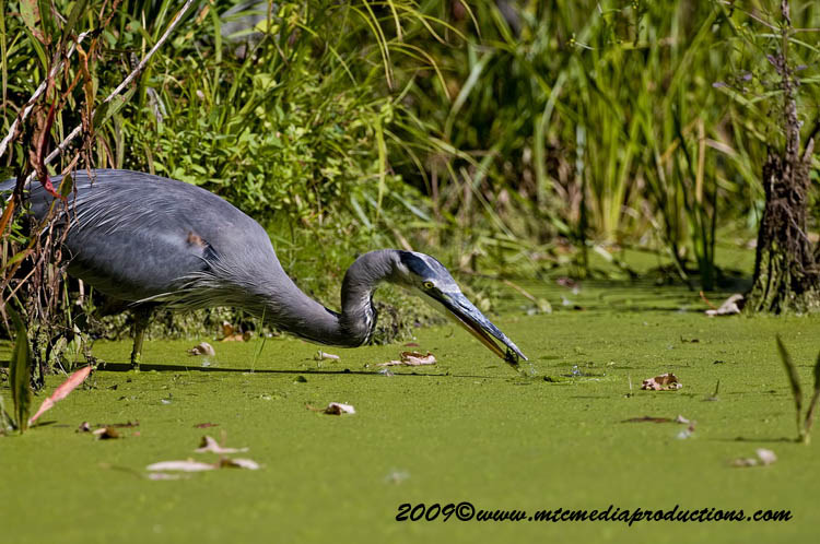 Blue Heron Picture-375