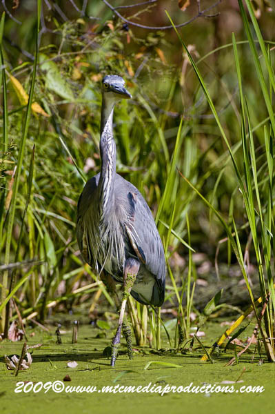 Blue Heron Picture-377
