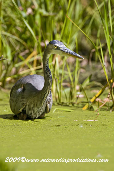 Blue Heron Picture-378