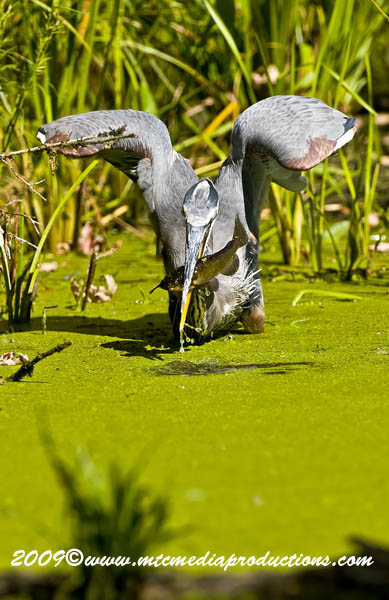 Blue Heron Picture-380