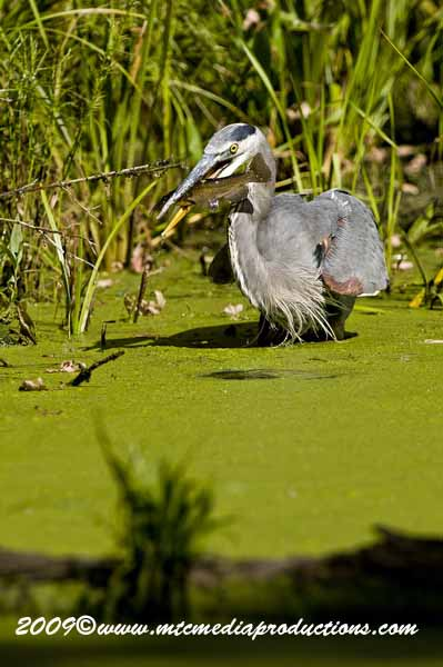 Blue Heron Picture-382
