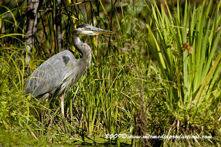 Blue Heron Picture-383