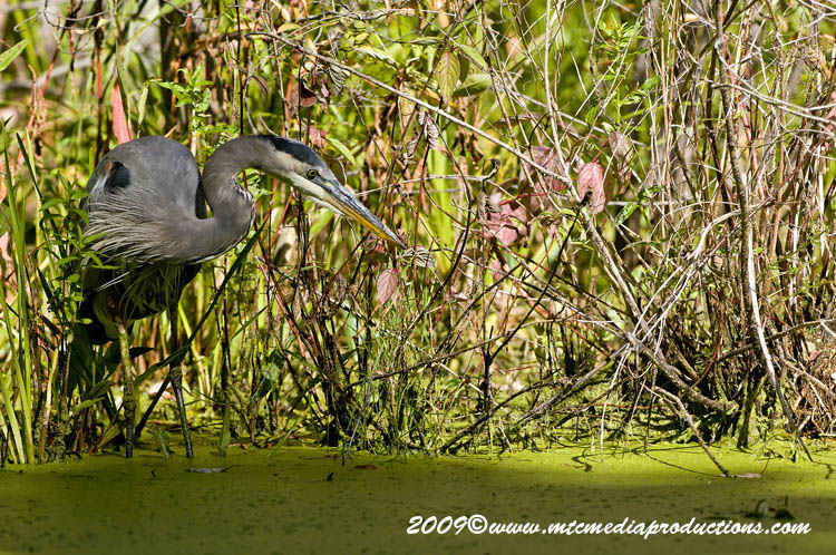 Blue Heron Picture-386