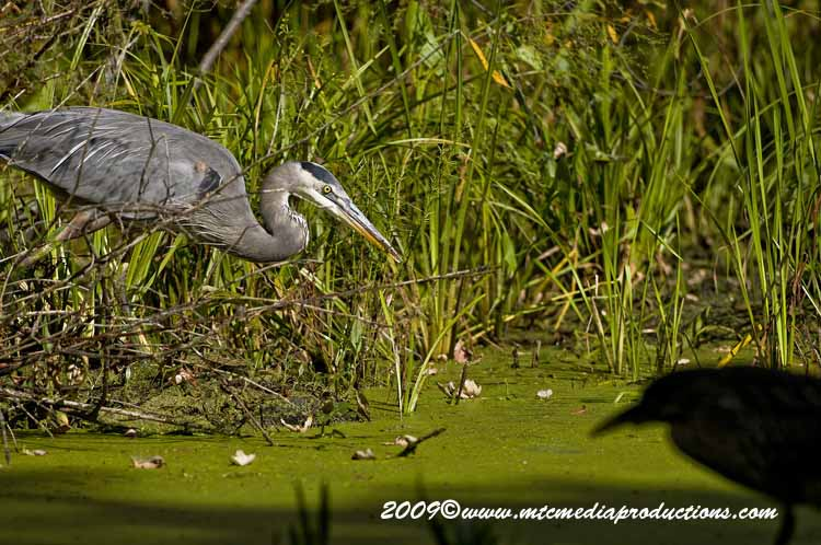 Blue Heron Picture-388