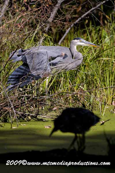 Blue Heron Picture-389