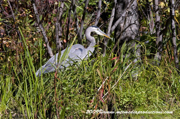 Blue Heron Picture-390