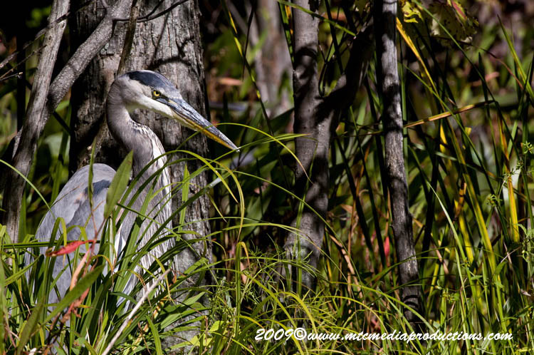 Blue Heron Picture-391