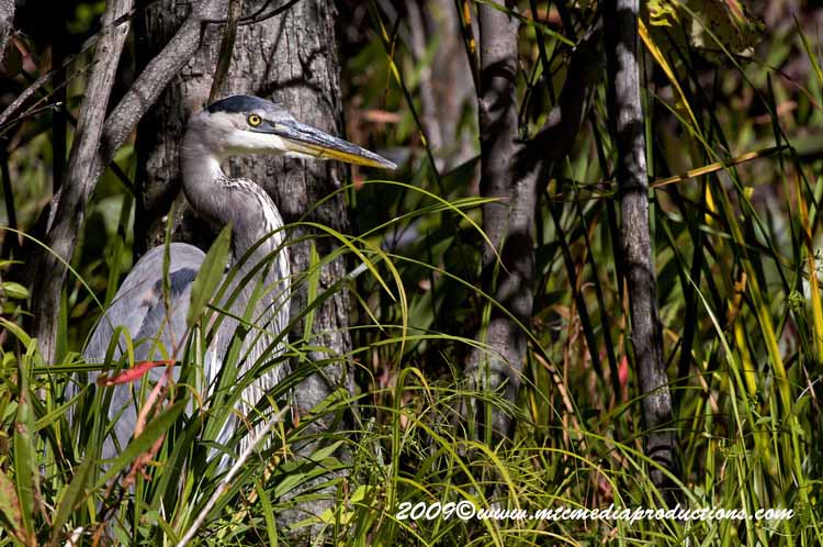 Blue Heron Picture-392