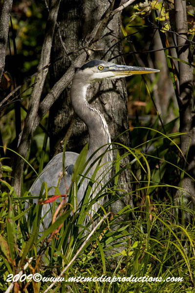 Blue Heron Picture-393