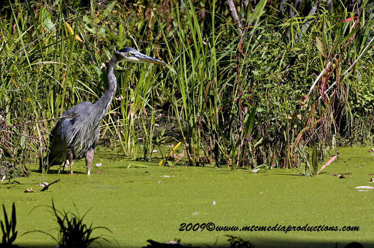 Blue Heron Picture-394