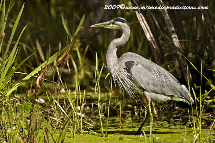 Blue Heron Picture-396