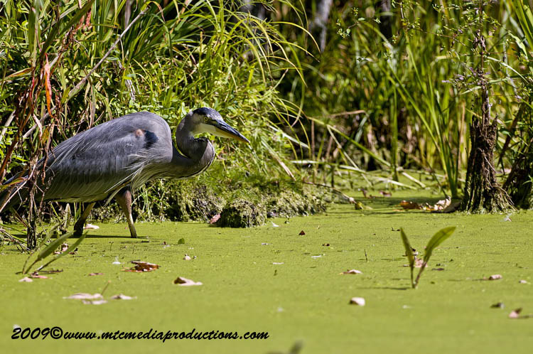 Blue Heron Picture-398