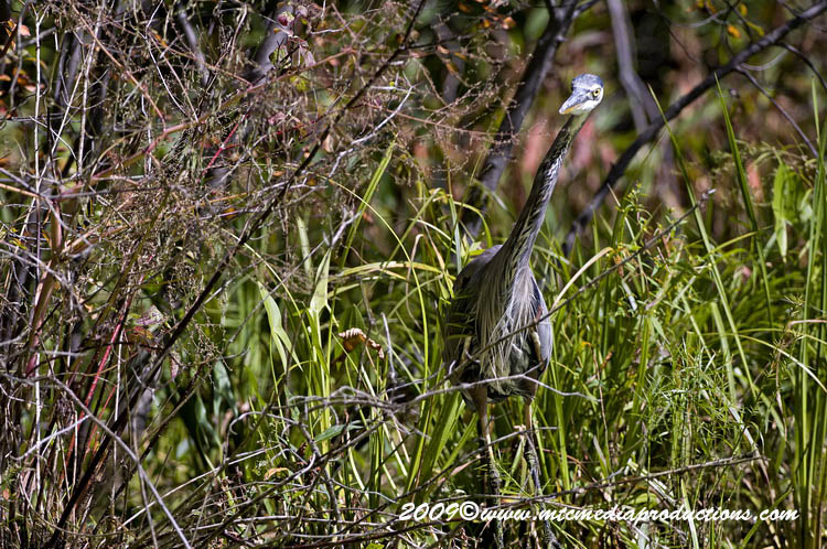 Blue Heron Picture-399
