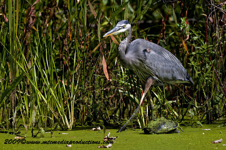 Blue Heron Picture-401