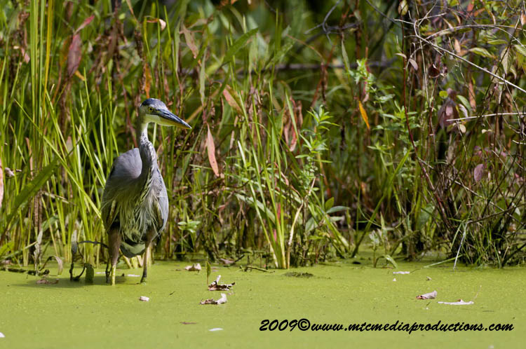 Blue Heron Picture-402