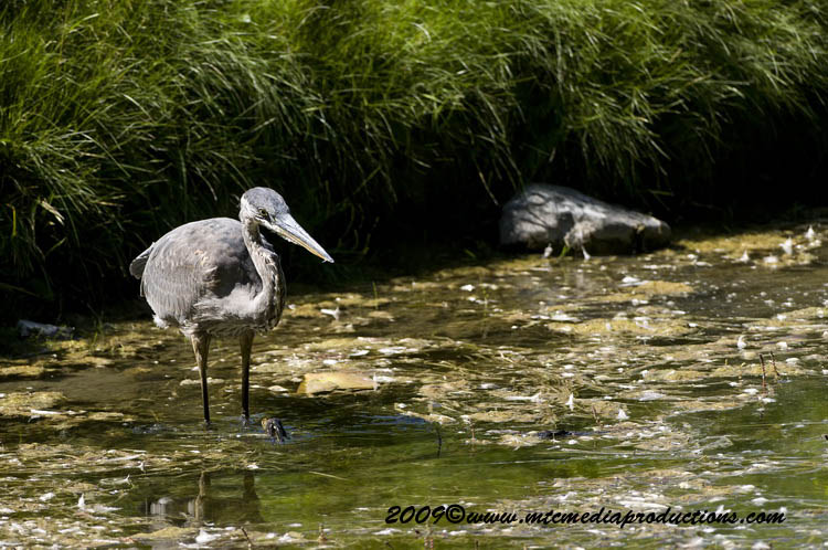 Blue Heron Picture-405