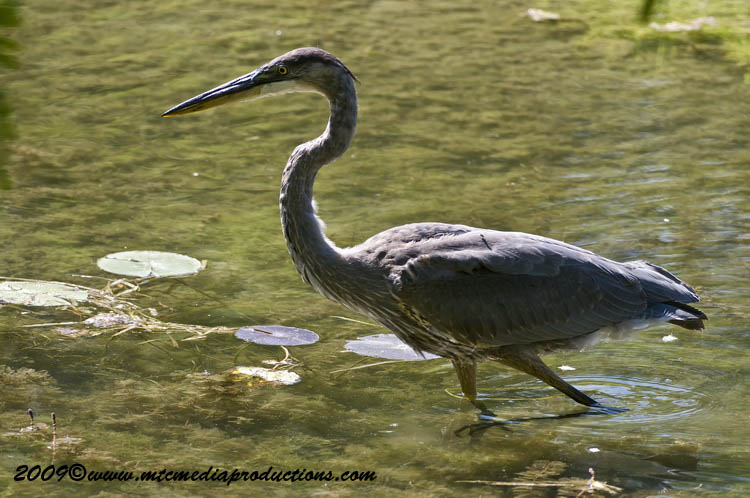 Blue Heron Picture-406