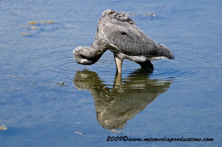 Blue Heron Picture-407