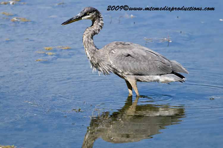 Blue Heron Picture-408