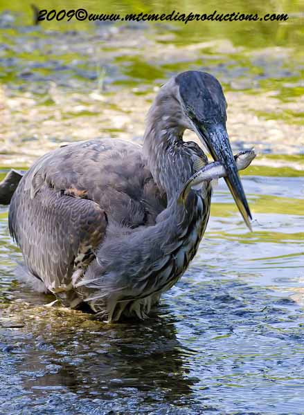 Blue Heron Picture-409