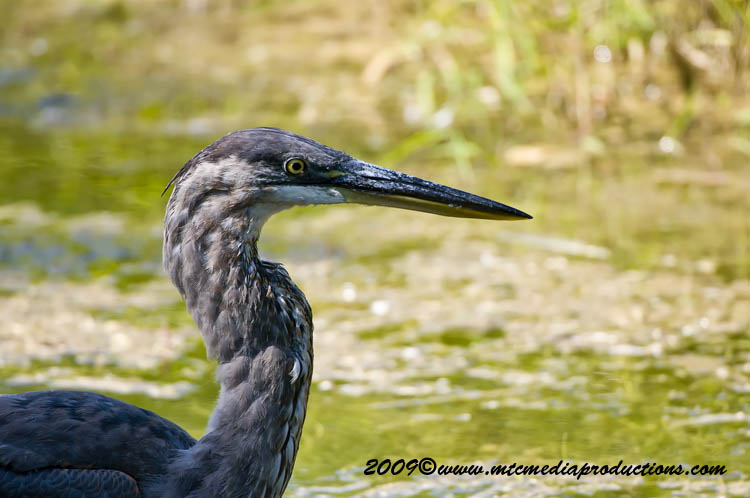 Blue Heron Picture-412