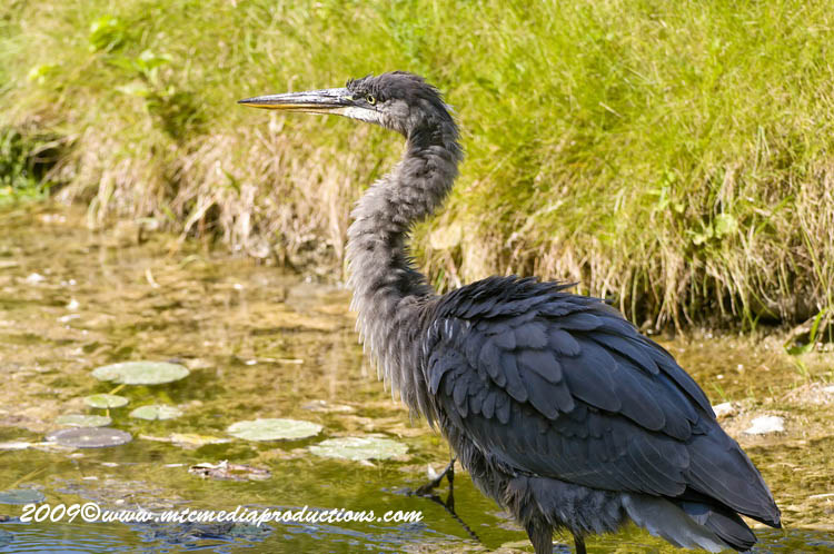 Blue Heron Picture-413