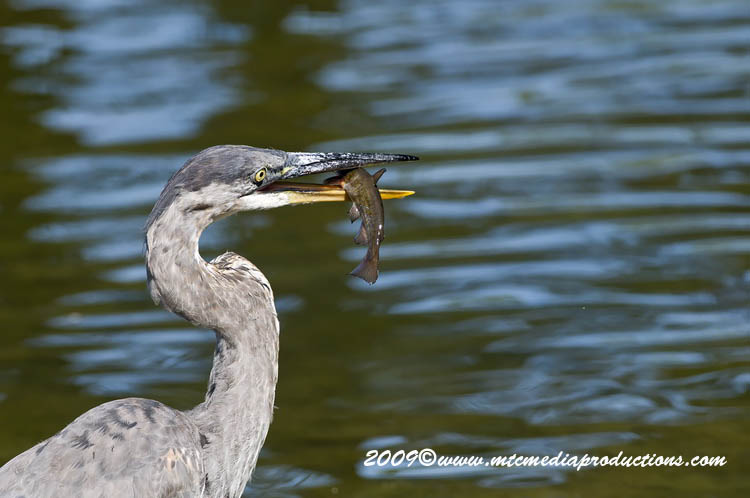 Blue Heron Picture-417