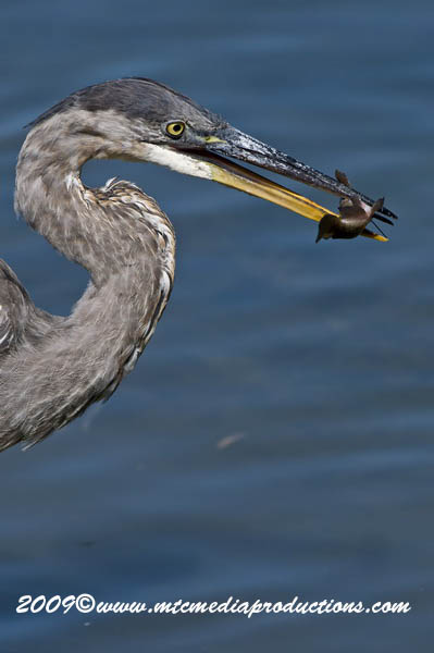 Blue Heron Picture-419