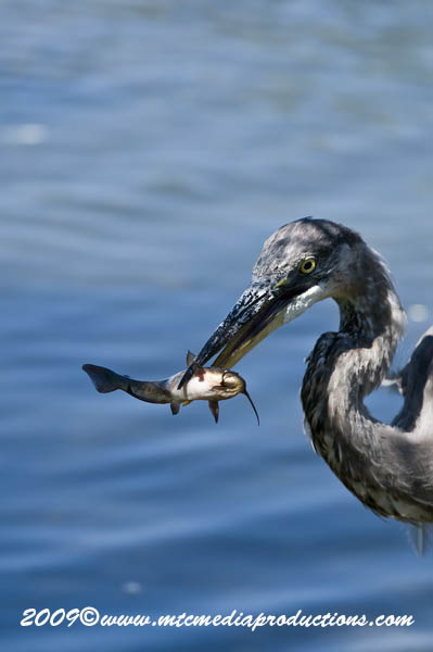 Blue Heron Picture-421