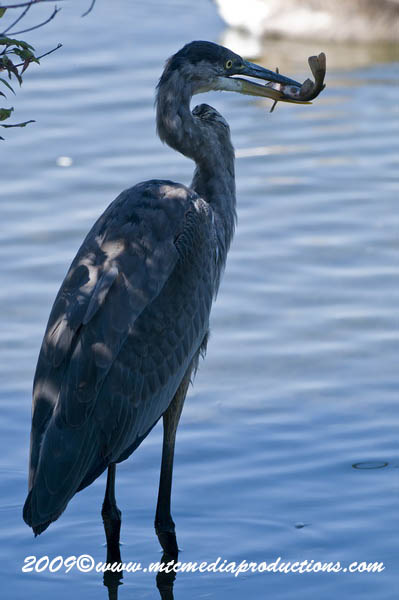 Blue Heron Picture-422
