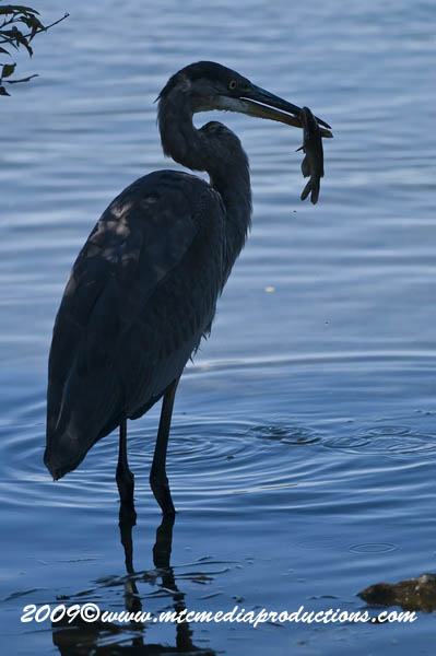 Blue Heron Picture-423