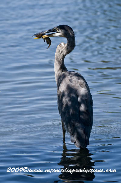 Blue Heron Picture-424