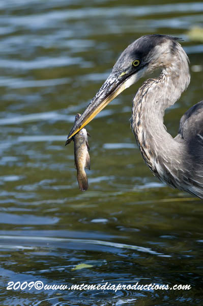Blue Heron Picture-425