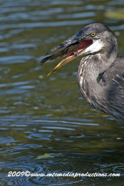 Blue Heron Picture-426