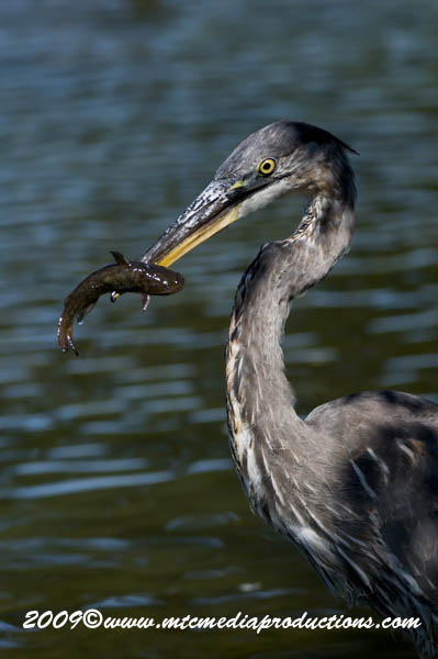 Blue Heron Picture-427