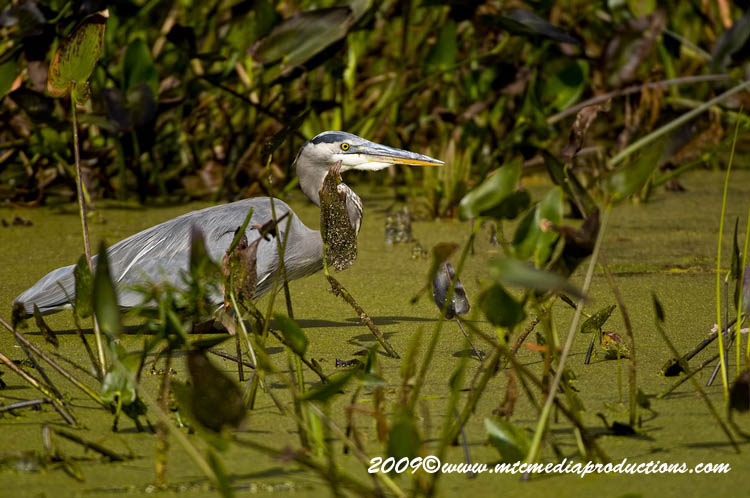 Blue Heron Picture-428