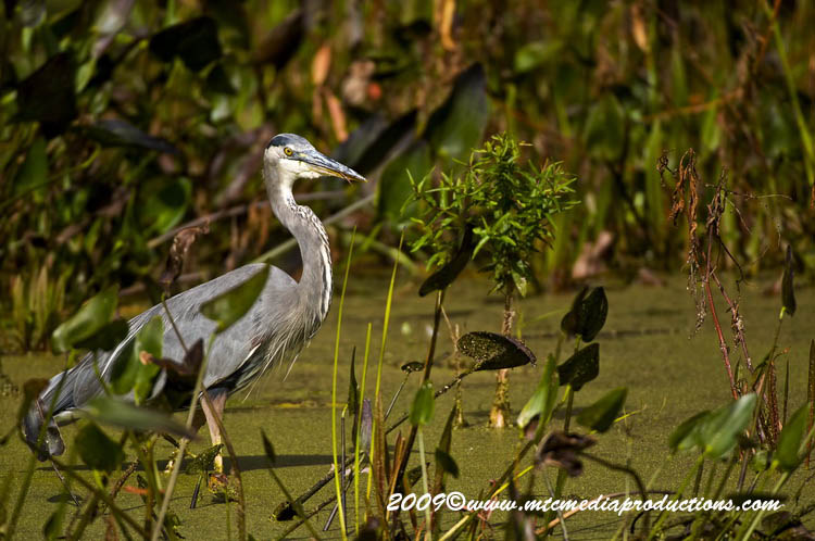 Blue Heron Picture-429