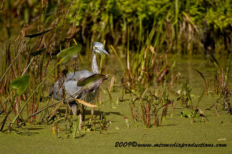 Blue Heron Picture-430