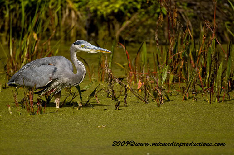 Blue Heron Picture-431