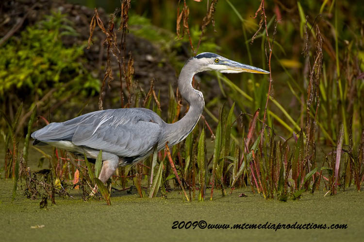 Blue Heron Picture-432