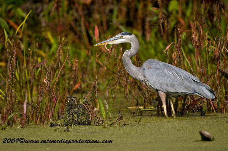 Blue Heron Picture-433