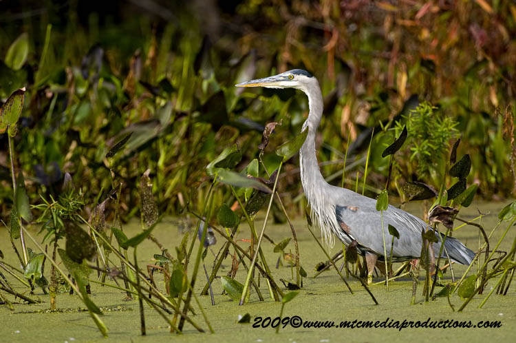 Blue Heron Picture-434